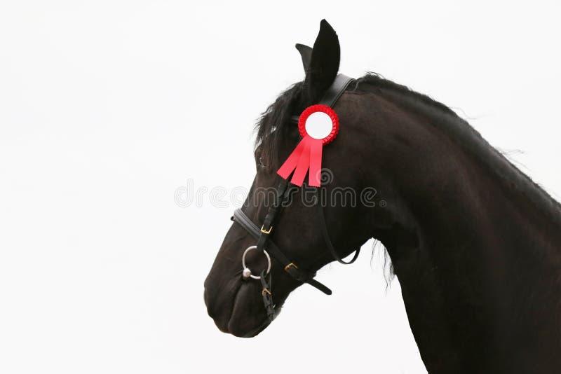 Primer del Headshot de un caballo frisio criado en línea pura foto de archivo libre de regalías