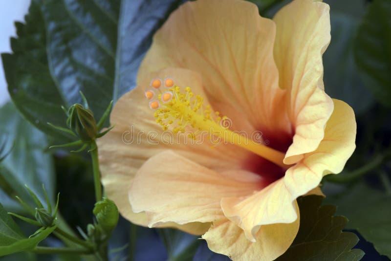 Primer del hibisco anaranjado imágenes de archivo libres de regalías