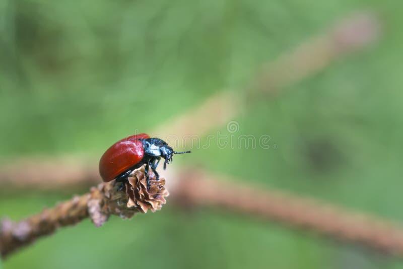 Primer del insecto de la señora en la rama imágenes de archivo libres de regalías