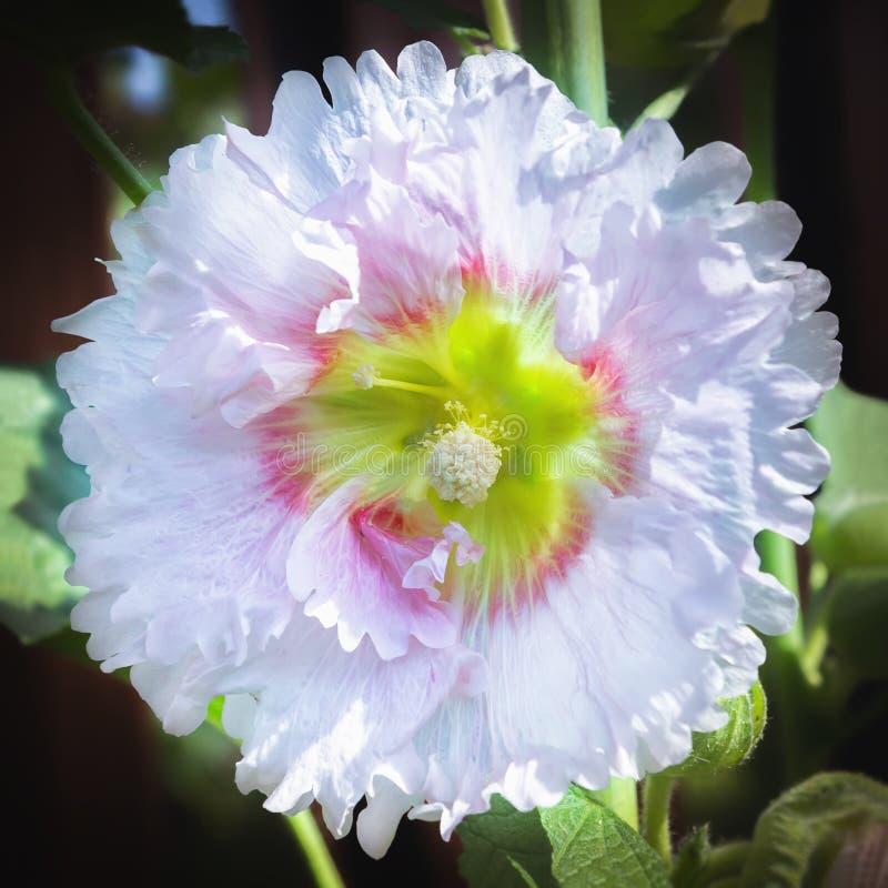 Primer del jardín de la malvarrosa o de Malva White Flower In The foto de archivo