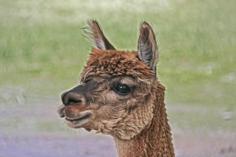Primer del jefe de una alpaca marr?n imagen de archivo
