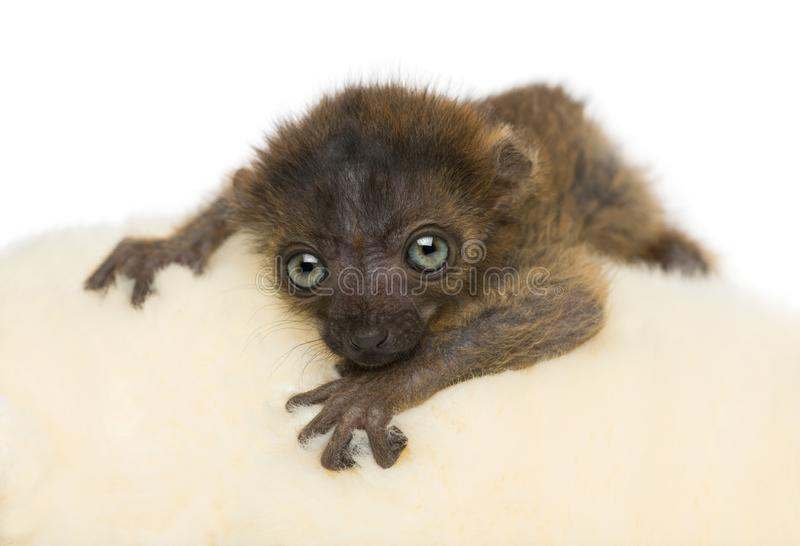 Primer del lémur negro de ojos azules del bebé que hace frente a 20 días de viejo fotografía de archivo libre de regalías