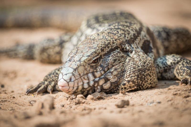 Primer del lagarto común del tegu en arena imagen de archivo