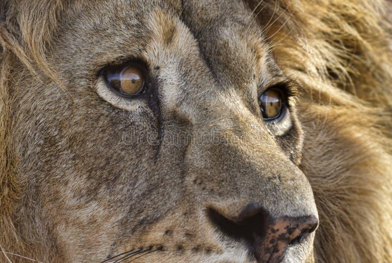 Primer del león masculino fotos de archivo