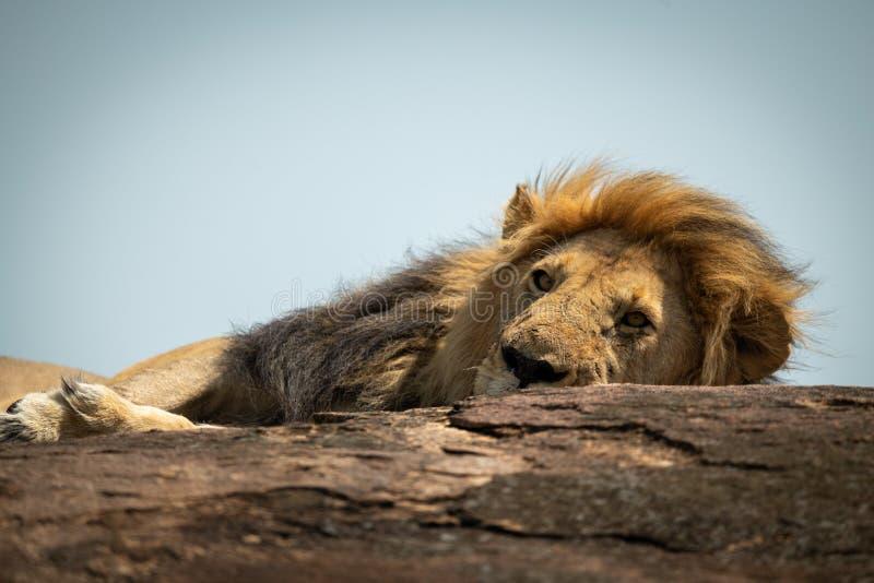Primer del león masculino que miente en roca imagen de archivo libre de regalías