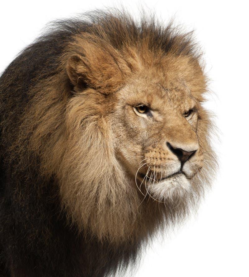 Primer del león, Panthera leo, 8 años fotografía de archivo libre de regalías
