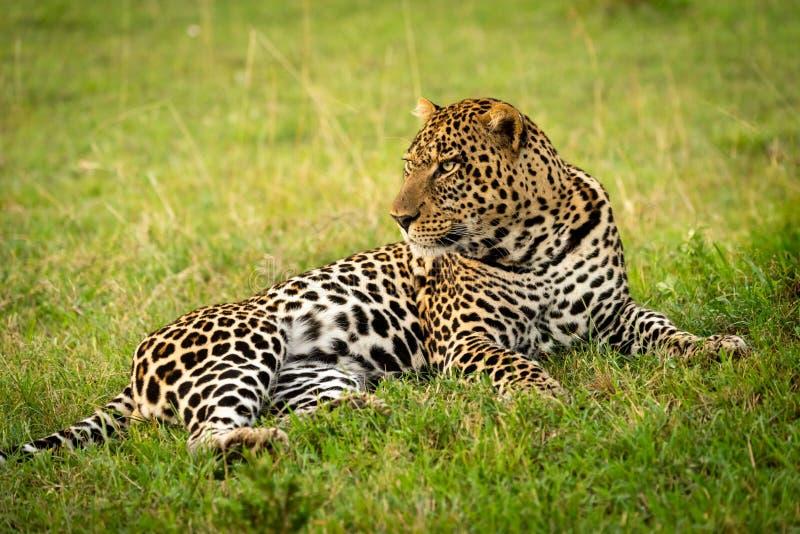 Primer del leopardo masculino que miente bajando la cabeza imagen de archivo