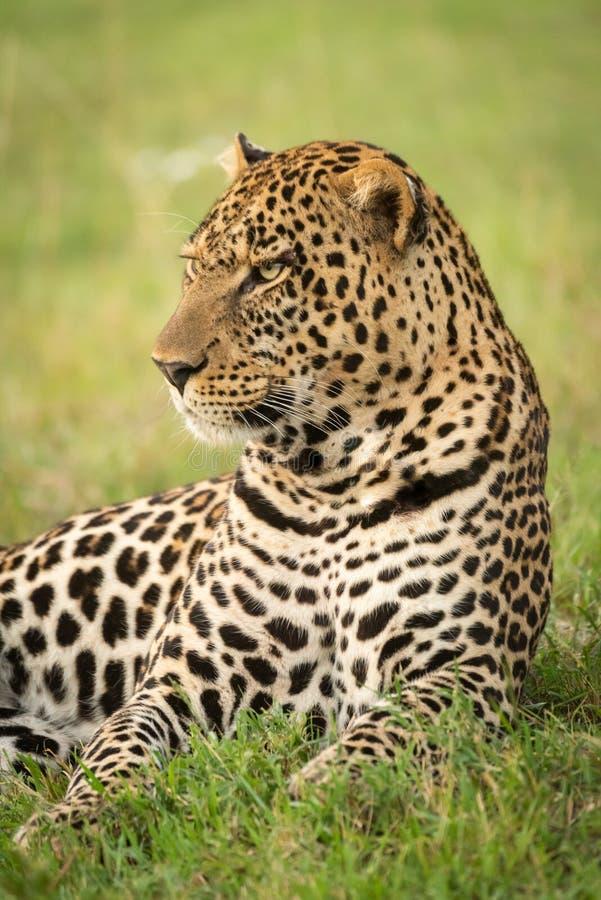 Primer del leopardo masculino que miente en hierba imágenes de archivo libres de regalías
