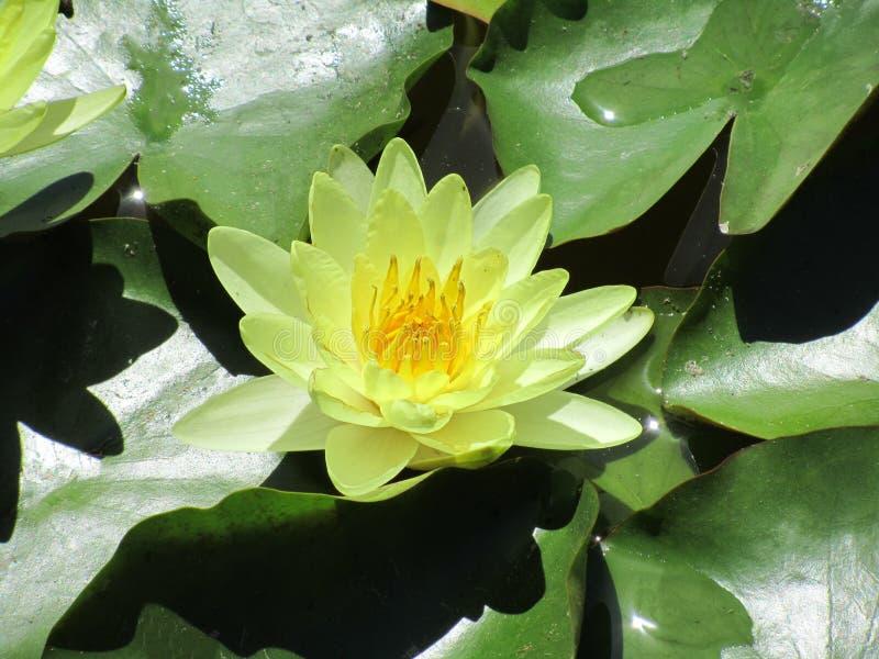 Primer del loto amarillo Nucifera latino del Nelumbo del nombre fotos de archivo