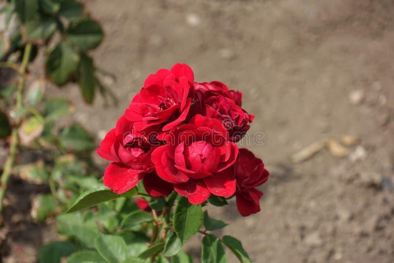 Primer del manojo de rosas rojas en el jardín imagen de archivo libre de regalías