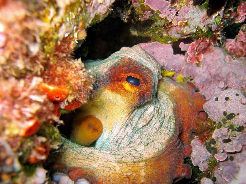 Primer del molusco vulgaris del pulpo subacuático imagenes de archivo
