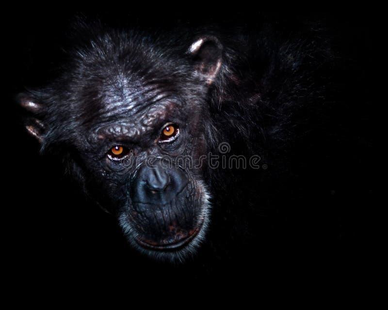 Primer del mono fotografía de archivo libre de regalías