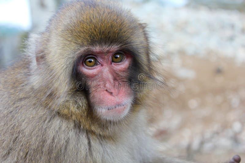 Primer del mono de la nieve foto de archivo
