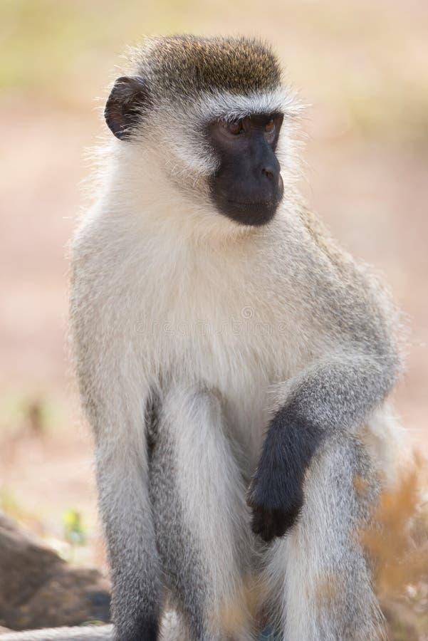 Primer del mono de vervet masculino en sol foto de archivo libre de regalías