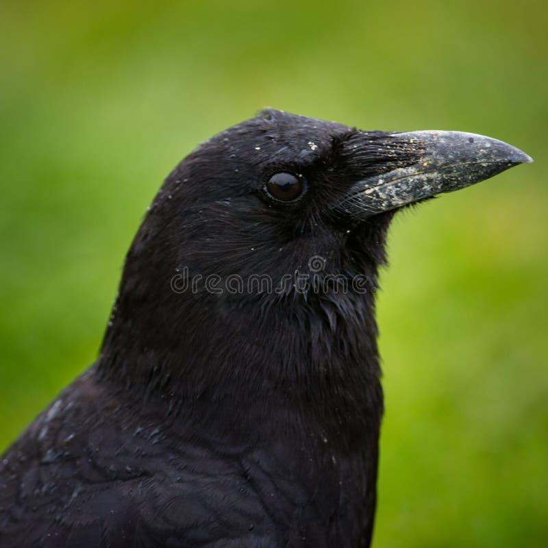 Primer del noroeste del cuervo foto de archivo