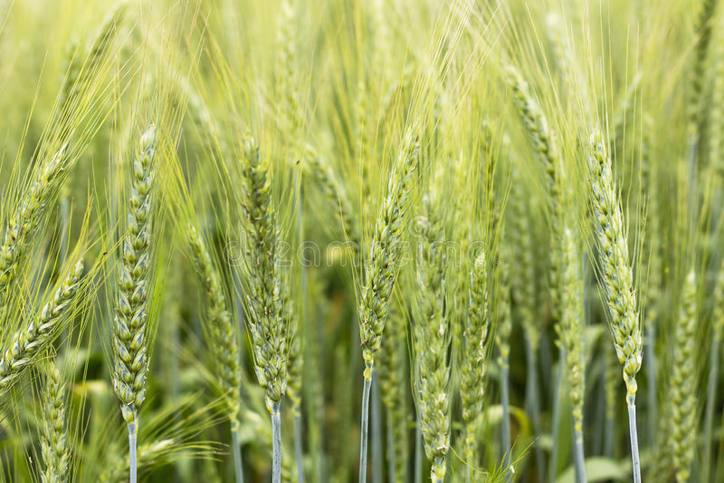 Primer del oído verde del trigo en el campo imagen de archivo