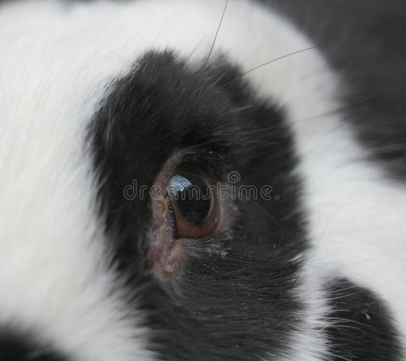 Primer del ojo de un conejo imágenes de archivo libres de regalías