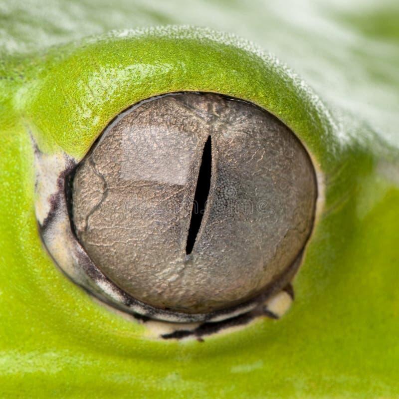 Primer del ojo gigante de la rana de la hoja imagenes de archivo