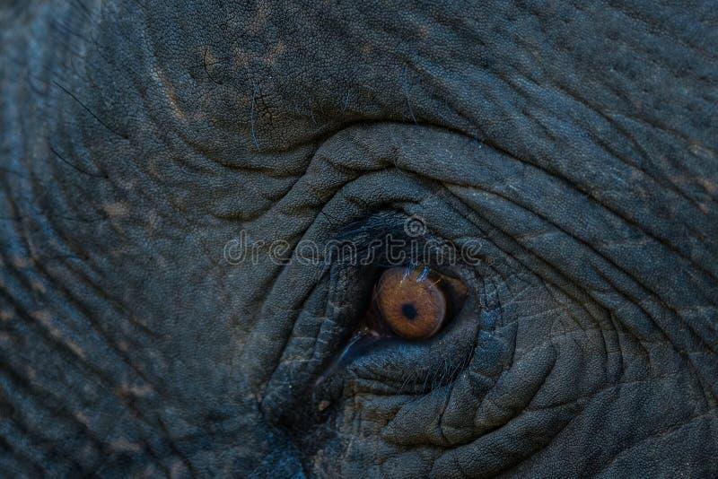 Primer del ojo del tusker del elefante imágenes de archivo libres de regalías