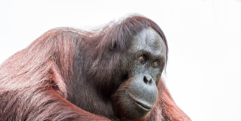 Primer del orangután de Bornean tirado en cara y ojos grandes foto de archivo libre de regalías