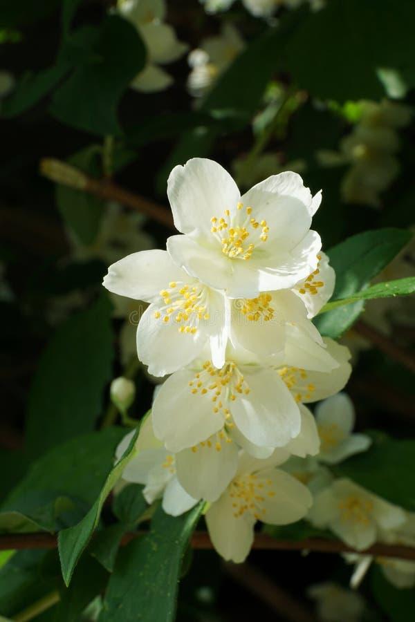 Primer del ordinario Philade de Chubushnik de la inflorescencia de la primavera foto de archivo