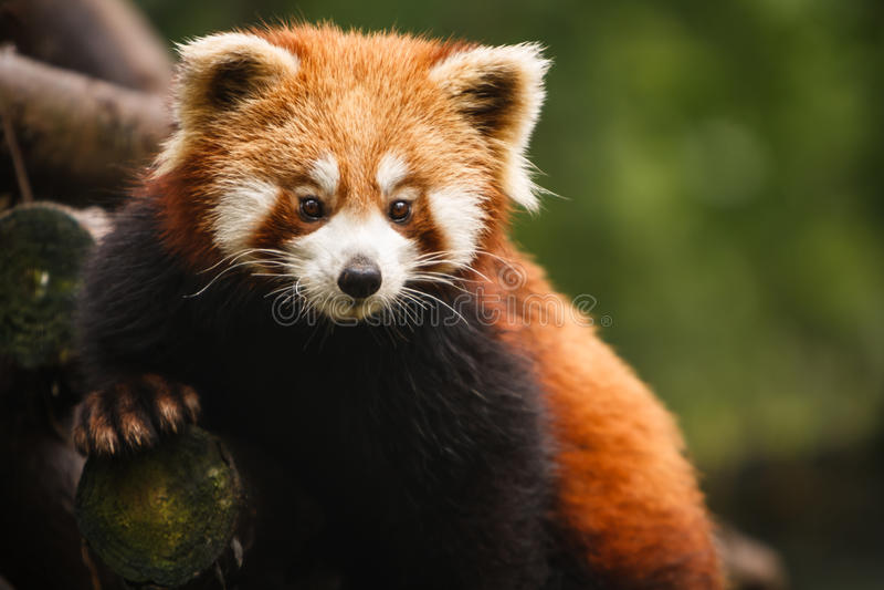 Primer del oso de panda roja poseing en árbol foto de archivo