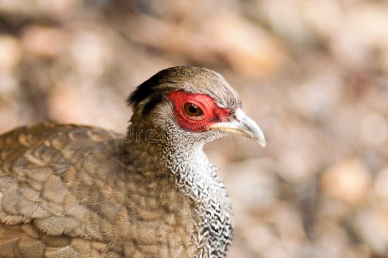 Primer del pájaro gallináceo. foto de archivo libre de regalías
