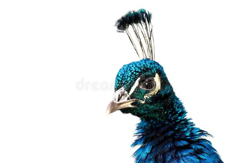 Primer del pavo real aislado en blanco imagenes de archivo
