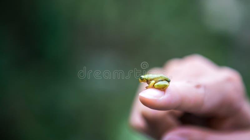 Primer del pequeño sapo de la rana del bosque, sentándose en la mujer del finger en Taiwán imagen de archivo