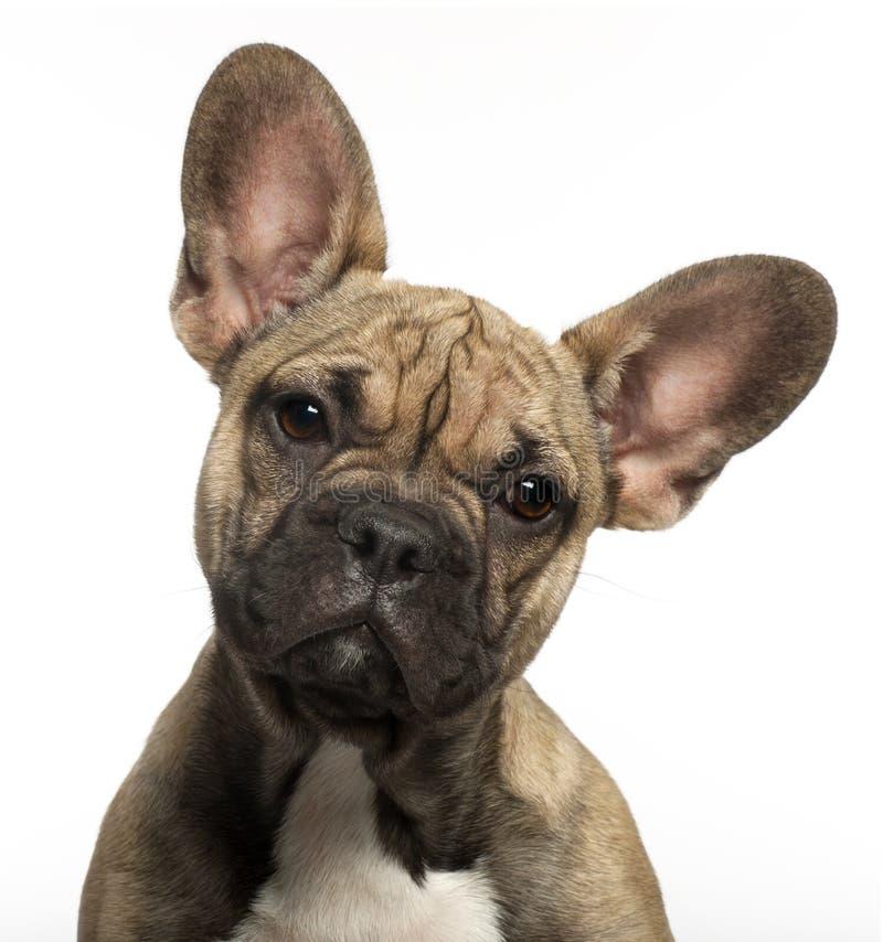 Primer del perrito del dogo francés, 5 meses imágenes de archivo libres de regalías