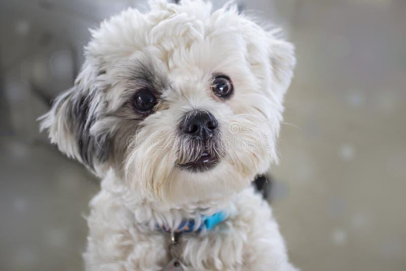Primer del perro blanco mullido muy lindo con el pelo oscuro alrededor de un ojo que mira como él quiere ser acariciado fotografía de archivo