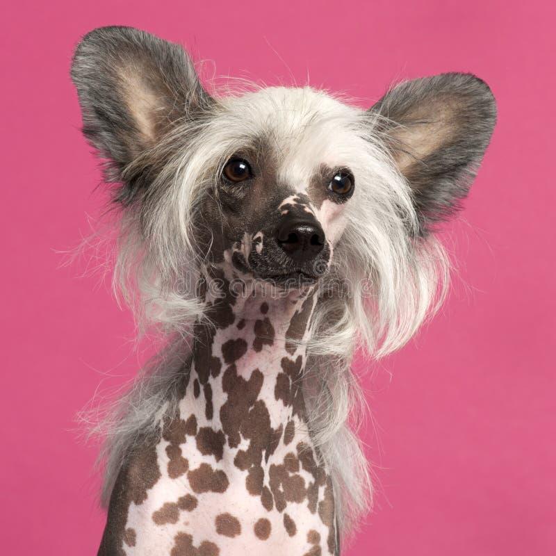 Primer del perro con cresta chino delante del color de rosa fotos de archivo libres de regalías