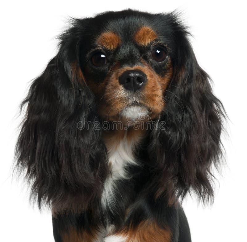 Primer del perro de aguas de rey Charles arrogante foto de archivo