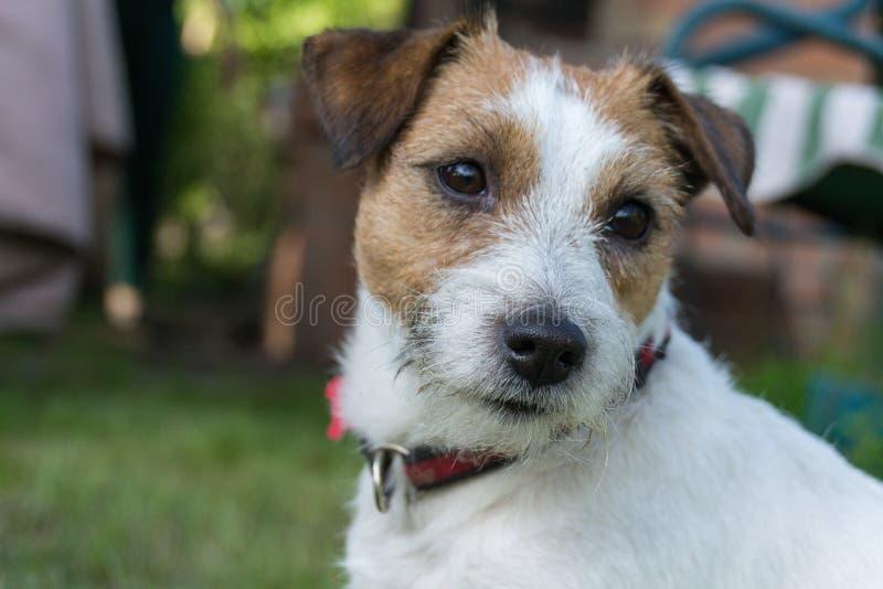 Primer del perro de Jack Russell Terrier, verano, al aire libre fotos de archivo