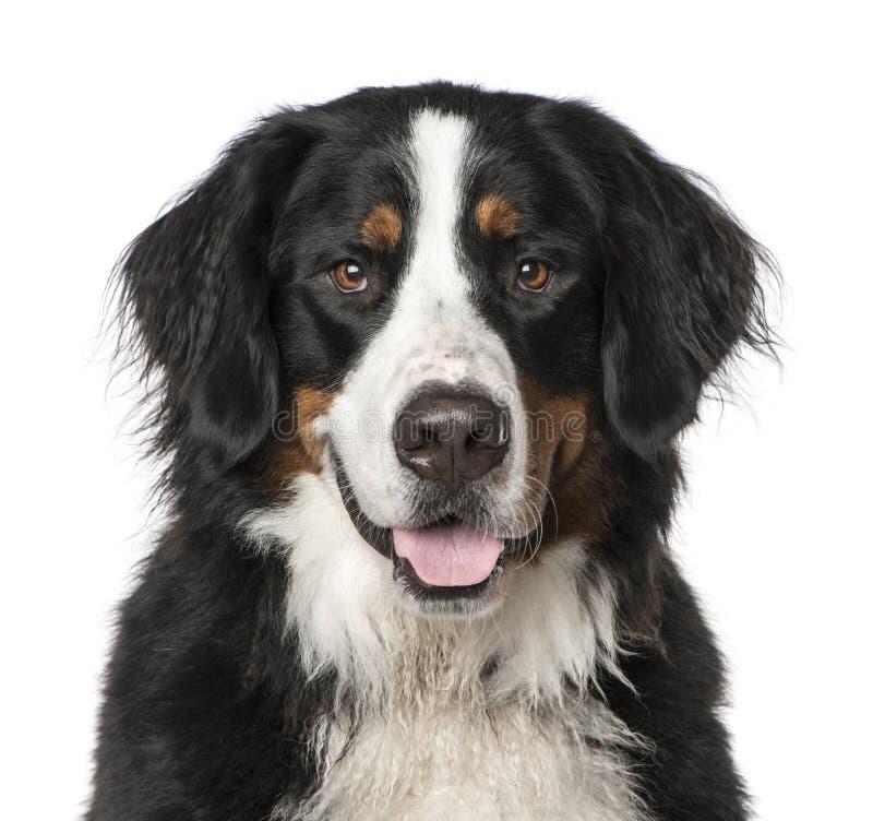 Primer del perro de montaña de Bernese que jadea, aislado en blanco imágenes de archivo libres de regalías