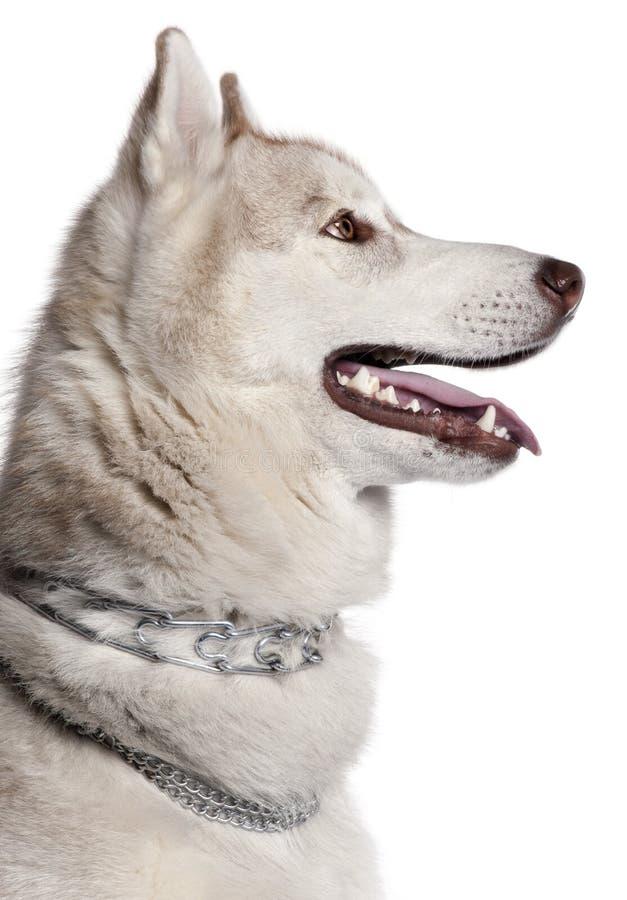 Primer del perro esquimal siberiano fotos de archivo