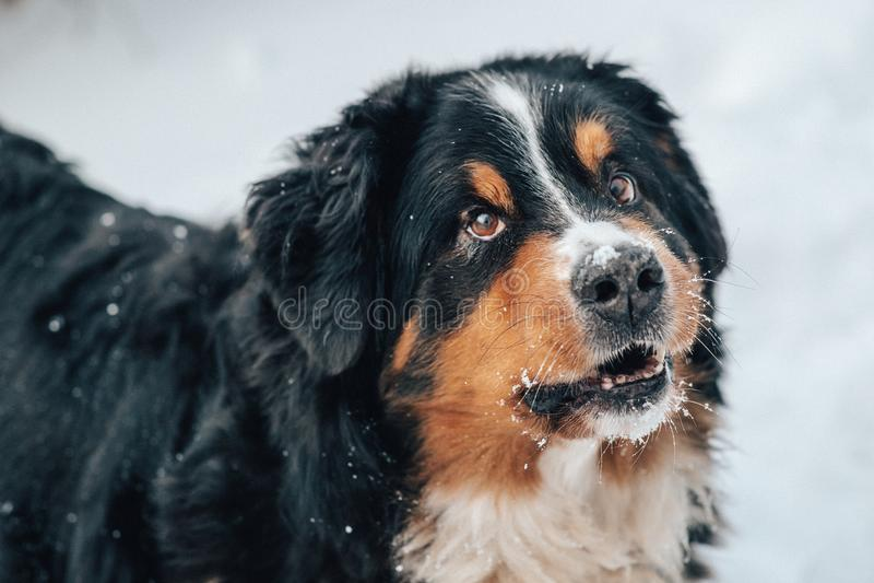primer del perro del stbernard imagen de archivo libre de regalías