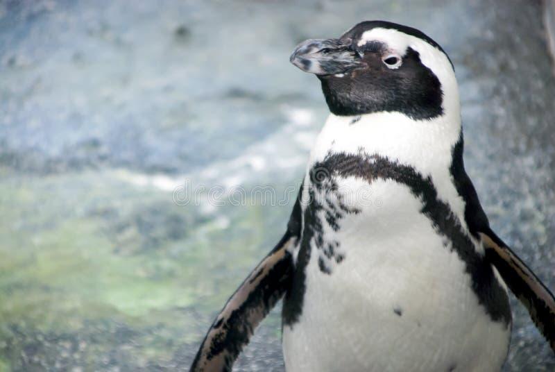 Primer del pingüino de Magellanic fotografía de archivo libre de regalías