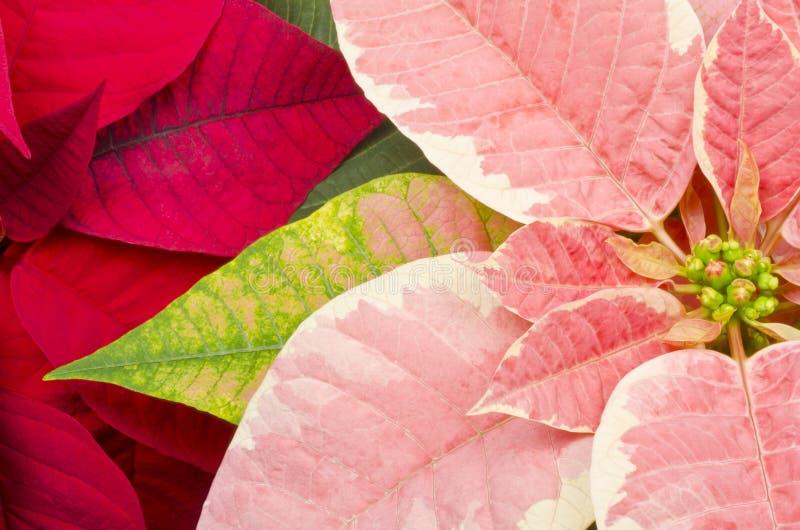 Primer del Poinsettia colorido imagenes de archivo