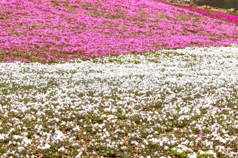 Primer del primero plano rosado y blanco del musgo en el festiva del shibazakura foto de archivo