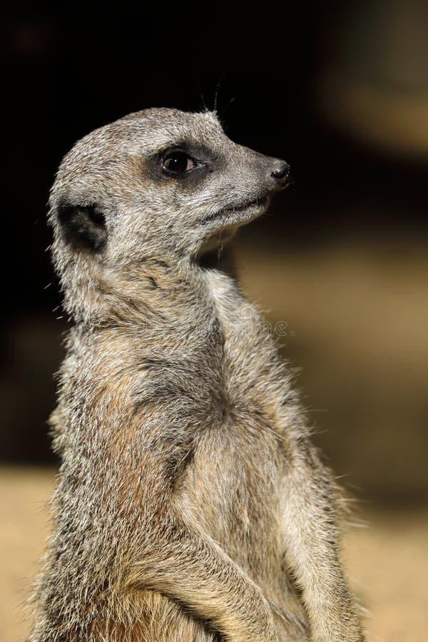 Primer del retrato de sentar suricatta salvaje del Suricata de Meerkat del africano fotos de archivo