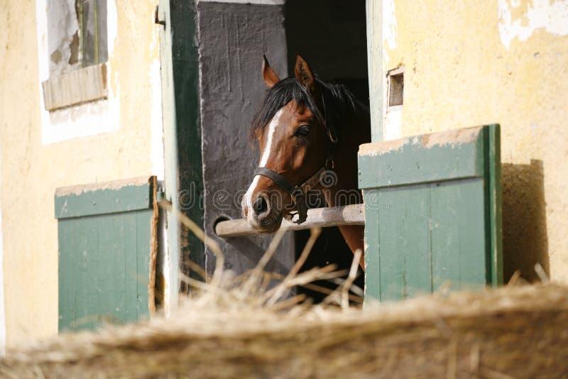 Primer del retrato de un caballo excelente en la puerta de granero fotos de archivo libres de regalías