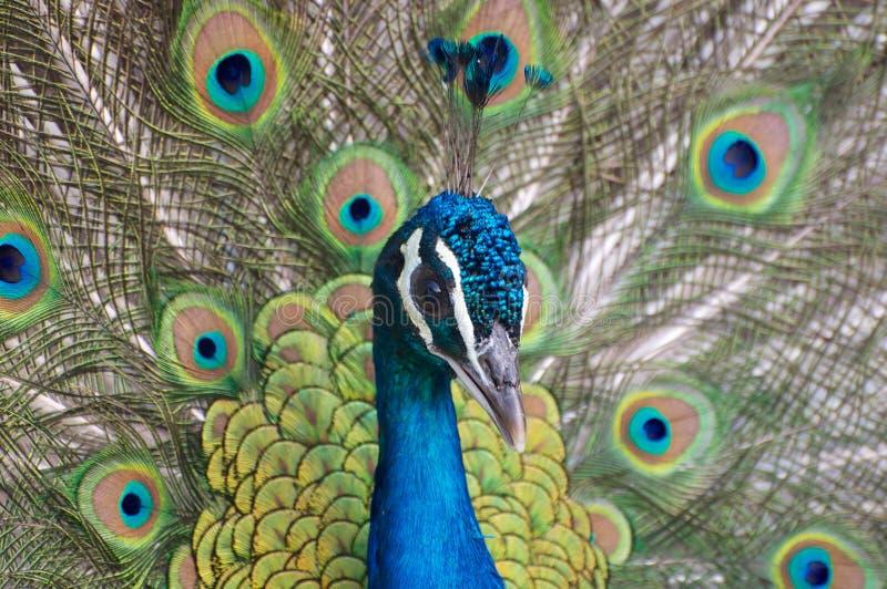 Primer del retrato del pavo real fotografía de archivo libre de regalías