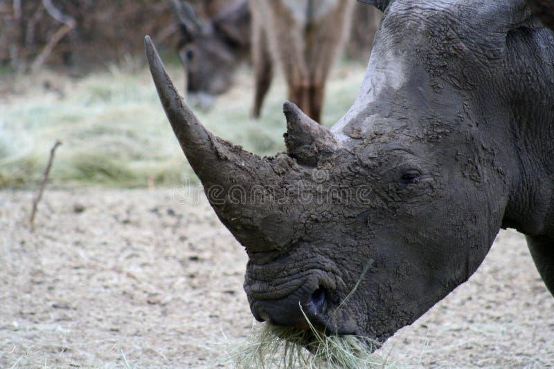 Primer del rinoceronte imagen de archivo