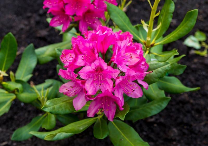 Primer del rosa de la lila del rododendro en un fondo fotografía de archivo libre de regalías
