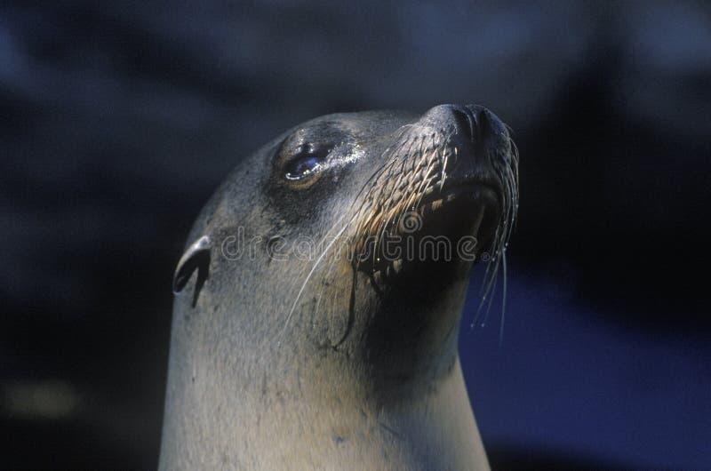 Primer del sello, mundo del mar, San Diego, CA imágenes de archivo libres de regalías