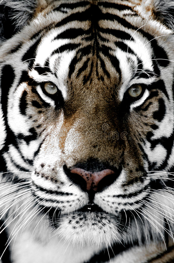 Primer del tigre de la cara imágenes de archivo libres de regalías