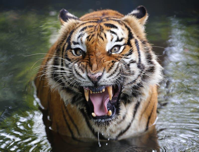 Primer del tigre en el parque zoológico fotos de archivo