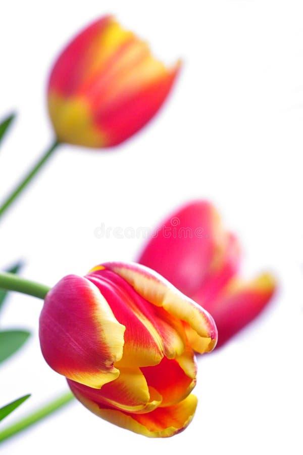Primer del tulipán imagen de archivo