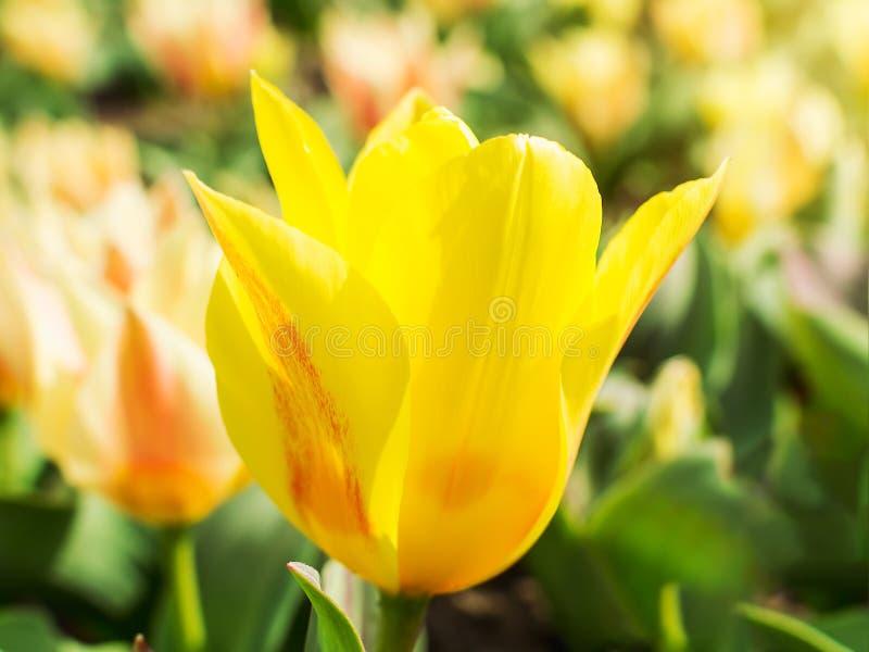 Primer del tulipán amarillo en macizo de flores al aire libre en un día soleado Florecimiento de la primavera de tulipanes en un  foto de archivo libre de regalías